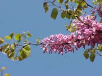 Flora of river twine holt river twine wiki redleaf tree redbud has large heart shaped leaves that turn bright red in the autumn in the spring has bursts of tiny dark pink flowers flowers can be mightylinksfo