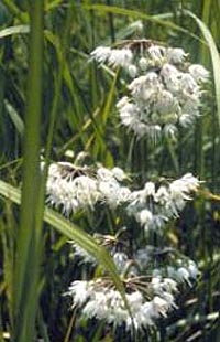 Wild Onion - Plant Identification